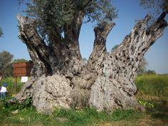 Photo by Özge Yücesoy, 800 years olive tree in Kalkanli, KKTC