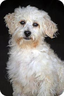 SAN PEDRO, CA - Terrier (Unknown Type, Medium)/Poodle (Miniature) Mix. Meet Armstrong, a puppy for adoption. http://www.adoptapet.com/pet/12871399-san-pedro-california-terrier-unknown-type-medium-mix