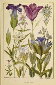 Gentian Family from Flowers of Mountain and Plain