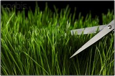 """Wheatgrass Sprouting    Step-by-step guide on how to grow your own  wheatgrass at home for a daily shot of  """"Liquid Sunshine"""" ~ the ultimate blood purifier."""
