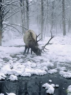 Elk-Bull Grazing in Winter, WY by Inga Spence. Winter in the woods. Beautiful Creatures, Animals Beautiful, Cute Animals, Wild Animals, Majestic Animals, Baby Animals, Winter Szenen, Winter Blue, Snow Scenes