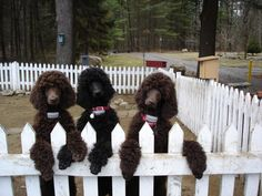 Chocolate & Black Standard Poodles
