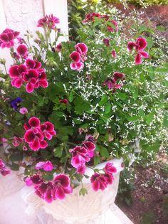 Winning combo- Martha Washington geranium and Diamond Frost