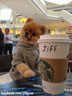 Pomeranian Dog Breed Information - Animals Cute Little Puppies, Cute Dogs And Puppies, Cute Little Animals, Cute Funny Animals, Baby Dogs, Cute Babies, Funny Cats, Jiff Pom, Cute Pomeranian