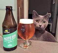 """""""#beercat Rosie experiencing a new hop variety in @GreenFlashBeer Pacific Gem IPA: tropical fruity sweet up front, some lite earthy herbal spice, then dry finish. Tasty! #craftbeer #sdbeer #brewcat #beerkitty #craftbeercat #russianblue #pacificgem #hops #ipa #hopodyssey"""" via catsontap on Instagram"""