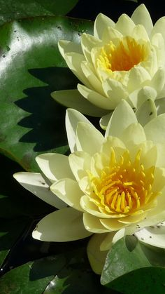 Lilies, flowers, leaves, water, solar