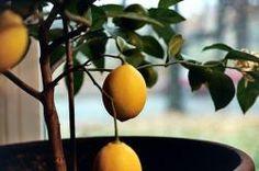Meyer Lemon Tree : Remodelista