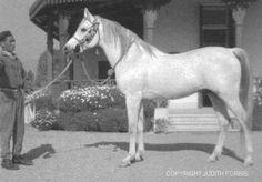 Sameh 1945 RAS: stallion, Arabian thoroughbred, born 1945