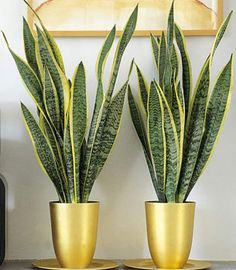 Pay attention to the pot: Repeating a color found in the leaves (here, the gold in variegated Sansevieria) gives a professional, designer look.