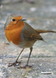 Garden birds - Robin by Hippysquirrel, via Flickr