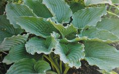 Queen of the Seas Hosta another for my wish list