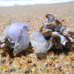 Mussels on seashells Kwazulu Natal, Mussels, Beach Pictures, Seashells, Traveling By Yourself, Coast, Mermaid, Ocean, Vacation