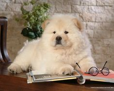 "This puppy who wishes you'd stop interrupting her research to tell her she's the ""cutest widdle dog in the whole world!!!"" 