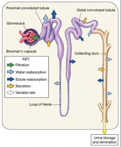 Nephron diagram anatomy pinterest diagram anatomy and this image shows the nephron in the renal lobe and its different functions filtration reabsorption and secretion the image also shows the location of ccuart Choice Image