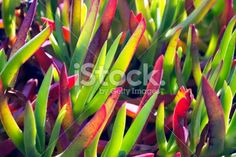 A close-up of the vibrant wild aloe in differential focus. Floral Backgrounds, Closer To Nature, Image Now, Aloe, Succulents, Wedding Invitations, Royalty Free Stock Photos, Vibrant, Trees