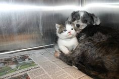 Dog Finds A Tiny Kitten, Risks Everything To Save Her! Animal control officers in Anderson, South Carolina, thought that a barking Shih-Tzu was stuck in a ravine. Turns out, she was there nursing and protecting a tiny abandoned kitten she had found. Kitten Rescue, Rescue Dogs, Animal Rescue, Cute Kittens, Cats And Kittens, Fluffy Kittens, Shih Tzu, Carolina Do Sul, South Carolina