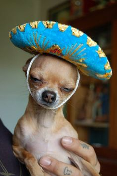 Little Chihuahua in a little sombrero.