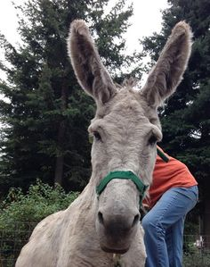 Magic Sam!!! Courtesy:  Lavender Dreams Farm & Donkey Rescue, Spokane, Washington (USA).