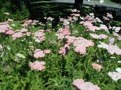 Achillea Millefolium Pink | Achillea millefolium, Pink Yarrow