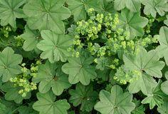 Poimulehti, Alchemilla vulgaris - Arktiset aromit - arktisetaromit