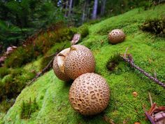 Scleroderma Citrinum on a soft moss by Filipoe.deviantart.com on @deviantART