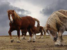Chevaux Landunvez ( postiers bretons )  by Branche de houx, via Flickr