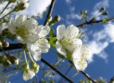 Cherry trees blossoming also in Finland