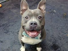 TO BE DESTROYED - TUESDAY - 10/28/14 Manhattan Center   My name is CLIFFORD. My Animal ID # is A1017874. I am a male gray and white pit bull mix. The shelter thinks I am about 4 YEARS old.  **$150 DONATION to the NEW HOPE RESCUE that pulls!**  I came in the shelter as a OWNER SUR on 10/17/2014 from NY 10016, owner surrender reason stated was ATT PEOPLE.