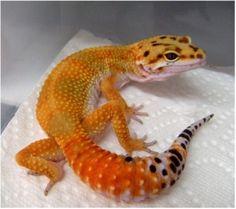 Bright Leopard Gecko
