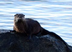 Otter takes a swimming break to dry off on a rock - January 28, 2017