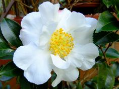 Portal Multiflora: Camellia sasanqua 'Setsugekka'