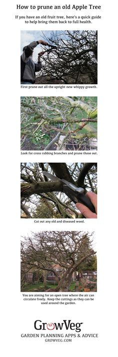 Many gardeners inherit an ancient apple tree and are unsure as how to treat it. Old apple trees are both a haven for wildlife and a bonus to any allotment or community garden. With a few steps you can bring them back to health, the most important thing being to open up the center creating a goblet shape, that  lets the air circulate preventing the build up of pests and diseases. The upright straight prunings can be used around the garden