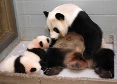And stare at them. | This Panda Mom Is Adorably Obsessed With Her Babies