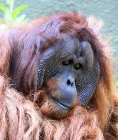 Puluh lives at Chester Zoo with his two ladies and 4 of their 6 children. He's a lovely gentle orangutan and a great dad. He has a grand-daughter in Budapest.  www.chesterzoo.org