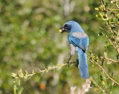 Scrub jay with a Halloween acorn treat