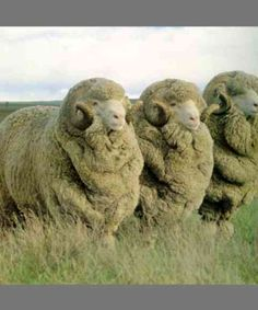 Merinos are regarded as having the finest, most valuable and softest wool of any sheep. Sheep Farm, Sheep And Lamb, Farm Animals, Cute Animals, Types Of Animals, Love Your Pet, Animal Facts, Hobby Farms, Livestock