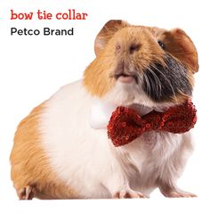 Make sure your Guinea Pig is dressed in their festive best. This red plaid bow tie is perfect for even the fanciest of holiday parties. Hamster Clothes, Guinea Pig Clothes, Guinea Pig Accessories, Pet Accessories, Guinea Pig Costumes, Hello Holidays, Pet Guinea Pigs, Teacup Pigs, Pig Stuff