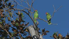 Red-crowned parrots by phatography1, via Flickr