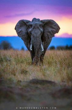 Elephant at sunset ~ Mara Triangle, Maasai National Reserve, Kenya, Africa/ isn't this AMAZING? African Elephant, African Animals, Wild Life, Wildlife Photography, Animal Photography, Beautiful Creatures, Animals Beautiful, Animals And Pets, Cute Animals