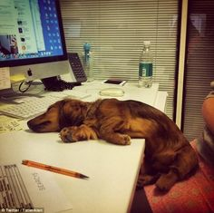 We went to work this week too. We have a dog office. --Looks like someone had a long day at the office. - photo via Crusoe the Celebrity Dachshund fb page Cute Puppies, Cute Dogs, Dogs And Puppies, 15 Dogs, Funny Dogs, Funny Animals, Cute Animals, I Love Dogs, Puppy Love