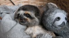 This sloth is hanging out with a plush version of himself.