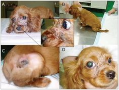 Puppy strangles, or juvenile cellulitis in dogs, is a rare conditon with unknown cause. Here's a science-based guide on strangles in puppies for dog owners. Pineapple Health Benefits, Old Golden Retriever, Dog Muzzle, Dog Health Tips, Old Dogs, Dog Owners, Fitness Tips, Dogs And Puppies, Your Dog