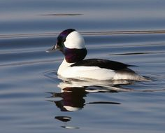 Bufflehead duck    Jan. 2012   at pit