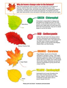 Why do Leaves Change Color in the Autumn? from Science Bob's Blog