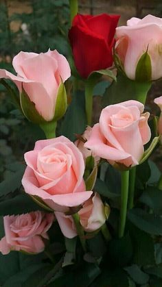 A lone red rose amongst pink long-stemmed ones! Beautiful Rose Flowers, Flowers Nature, Exotic Flowers, Amazing Flowers, Pink Flowers, Beautiful Flowers, Love Rose Flower, Hybrid Tea Roses, Color Rosa