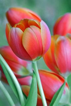 bellasecretgarden:  ~~Spring Tulips by Heather Wade~~