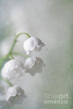 Lilies of the Valley by Annie Snel