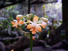 Calanthe kinabaluensis