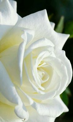 If you are thinking of rose gardening don't let this rumor stop you. While rose gardening can prove to be challenging, once you get the hang of it, it really isn't that bad. Beautiful Rose Flowers, Love Rose, My Flower, Pretty Flowers, White Flowers, Red Roses, Beautiful Things, Ronsard Rose, Image Beautiful