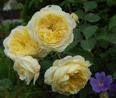 English Shrub Rose: Rosa 'The Pilgrim' (U.K., before 1991)